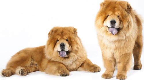 如何巧妙去除松狮身上的异味-成犬饲养